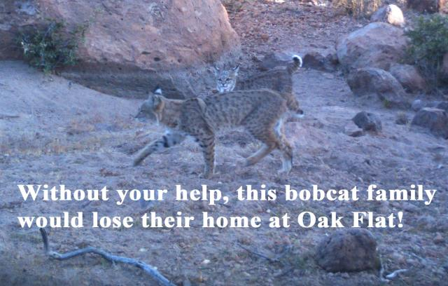 Bobcat Family Plea